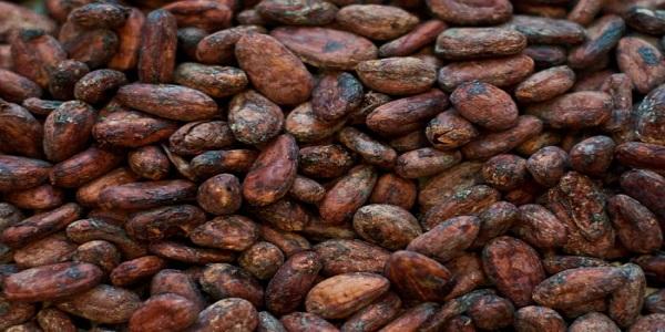 پخش دانه کاکائو