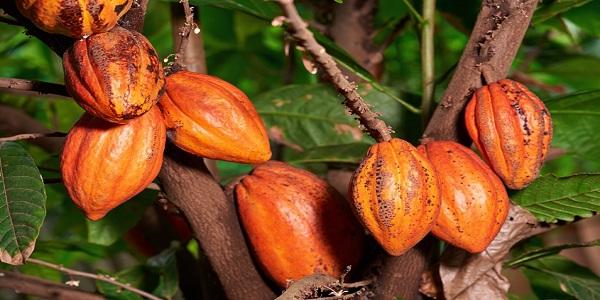 نحوه تولید کاکائو