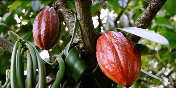 تولید دانه کاکائو
